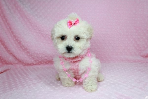 Bling - Teacup Maltipoo Puppy has found a good loving home with Glenda from Las Vegas, NV 89115.-27742