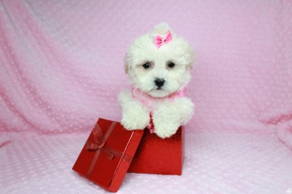 Bling - Teacup Maltipoo Puppy has found a good loving home with Glenda from Las Vegas, NV 89115.-27743