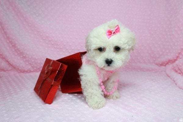 Bling - Teacup Maltipoo Puppy has found a good loving home with Glenda from Las Vegas, NV 89115.-27744