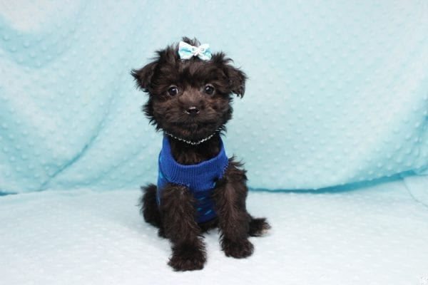 Bradley Cooper - Teacup Yorkipoo Puppy has found a good loving home with Pamela from Las Vegas, NV 89148-27358