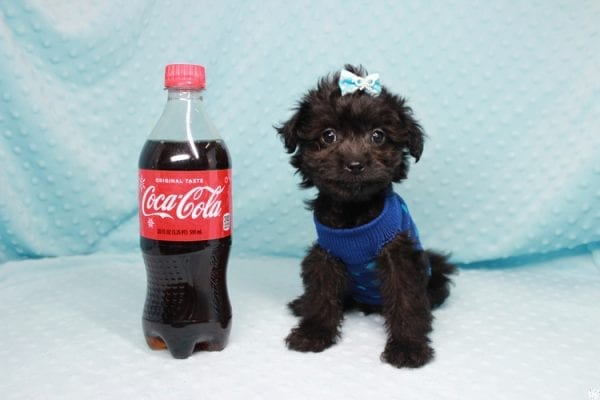 Bradley Cooper - Teacup Yorkipoo Puppy has found a good loving home with Pamela from Las Vegas, NV 89148-27359