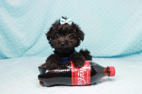 Bradley Cooper - Teacup Yorkipoo Puppy has found a good loving home with Pamela from Las Vegas, NV 89148-0