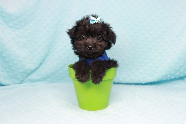 Bradley Cooper - Teacup Yorkipoo Puppy has found a good loving home with Pamela from Las Vegas, NV 89148-27362