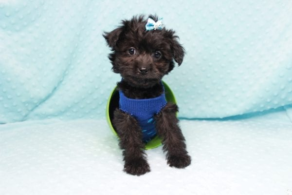 Bradley Cooper - Teacup Yorkipoo Puppy has found a good loving home with Pamela from Las Vegas, NV 89148-27363