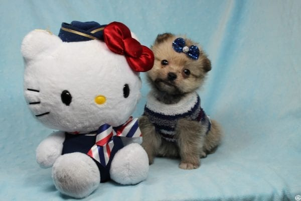 Buddy - Teacup Porkie Puppy has found a good loving home with Donna from Las Vegas, NV 89109.-27282