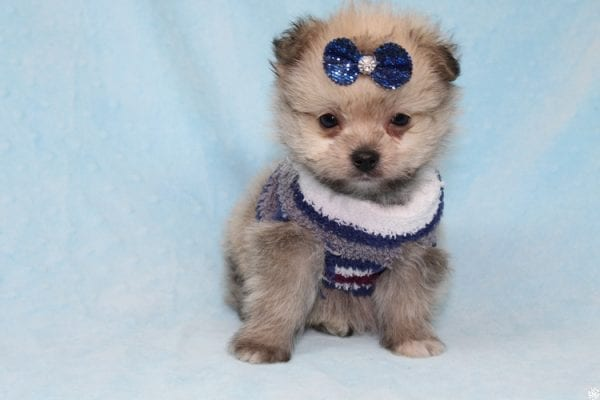 Buddy - Teacup Porkie Puppy has found a good loving home with Donna from Las Vegas, NV 89109.-27286