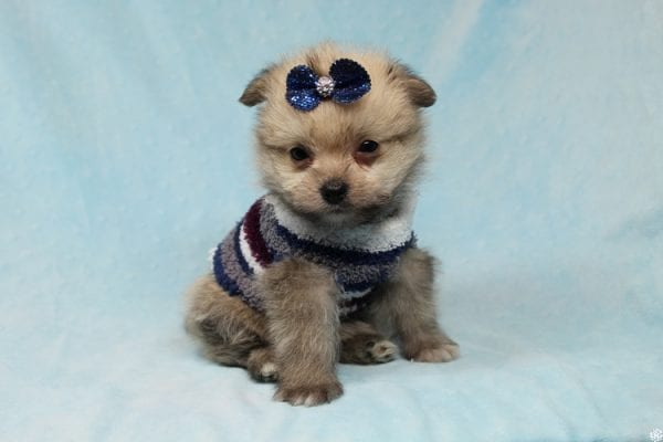 Buddy - Teacup Porkie Puppy has found a good loving home with Donna from Las Vegas, NV 89109.-27281