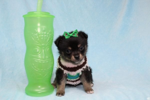 Button - Teacup Porkie Puppy has found a good loving home with James from Las Vegas, NV 89120-27271