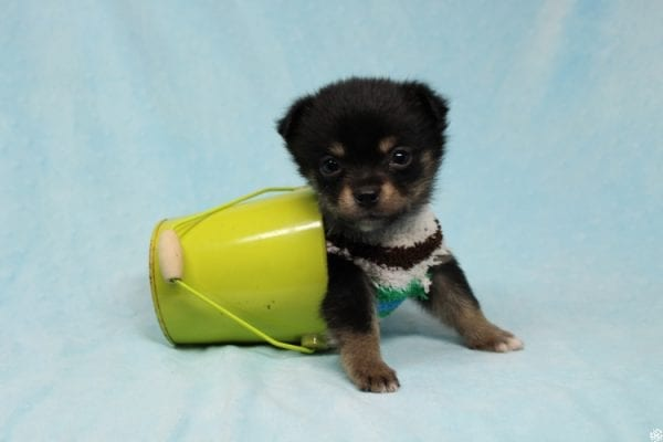 Button - Teacup Porkie Puppy has found a good loving home with James from Las Vegas, NV 89120-27274