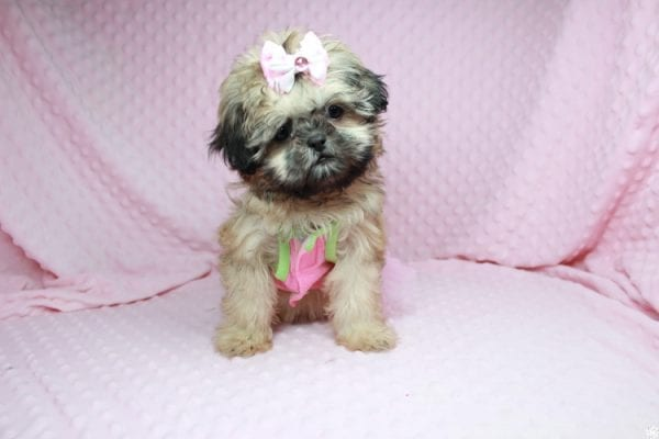 Beauty Queen - Toy Shih-Tzu Puppy has found a good loving home with Devona from Las Vegas, NV 89119.-27983