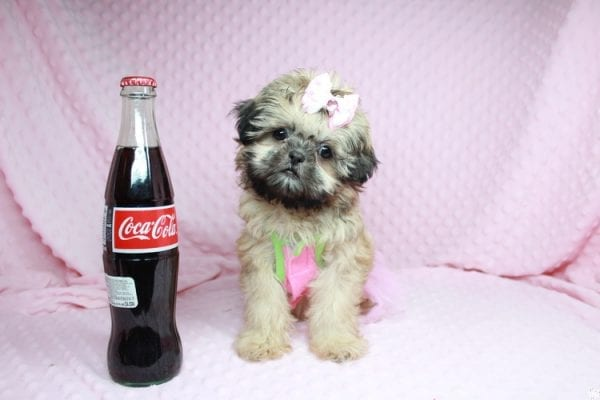 Beauty Queen - Toy Shih-Tzu Puppy has found a good loving home with Devona from Las Vegas, NV 89119.-27985