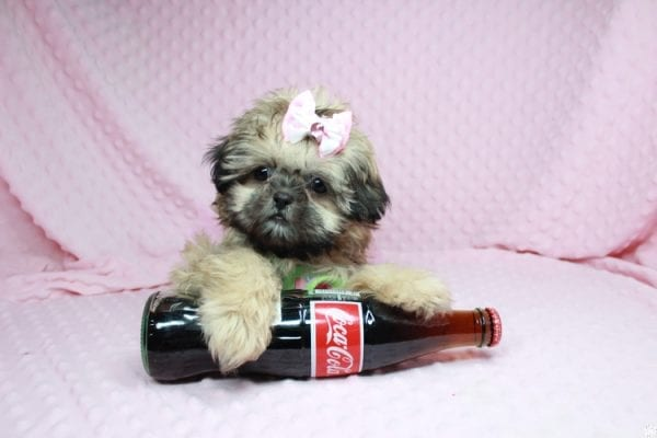 Beauty Queen - Toy Shih-Tzu Puppy has found a good loving home with Devona from Las Vegas, NV 89119.-27984