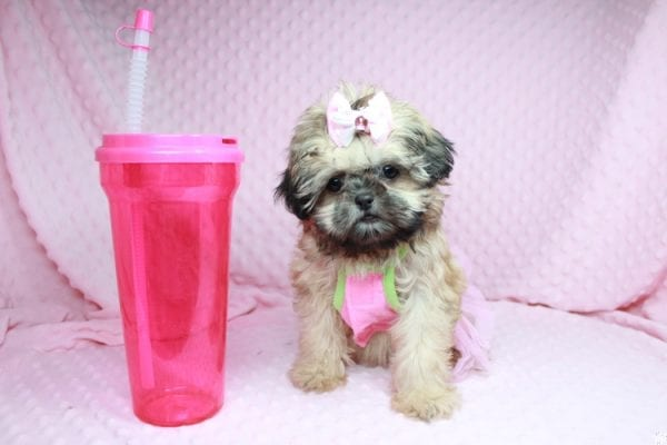 Beauty Queen - Toy Shih-Tzu Puppy has found a good loving home with Devona from Las Vegas, NV 89119.-27986
