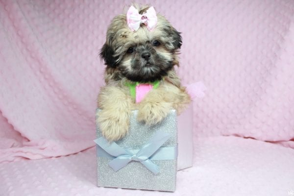 Beauty Queen - Toy Shih-Tzu Puppy has found a good loving home with Devona from Las Vegas, NV 89119.-27987