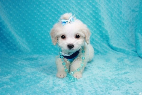 Bellagio - Teacup Maltese Puppy has found a good loving home with Marcia from San Clemente, CA 92673-27792