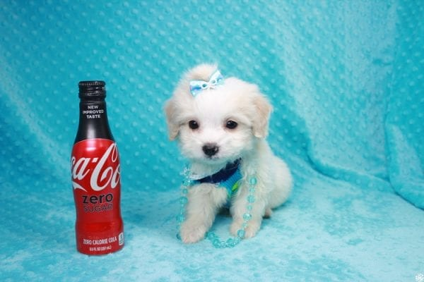 Bellagio - Teacup Maltese Puppy has found a good loving home with Marcia from San Clemente, CA 92673-0