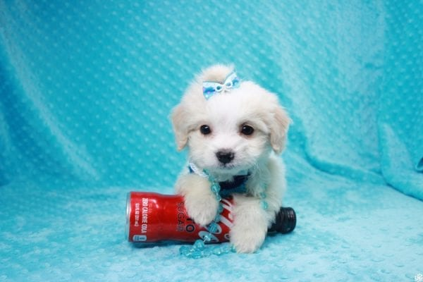 Bellagio - Teacup Maltese Puppy has found a good loving home with Marcia from San Clemente, CA 92673-27794