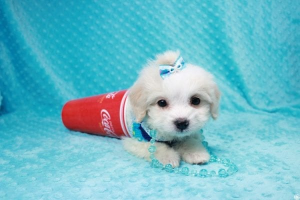 Bellagio - Teacup Maltese Puppy has found a good loving home with Marcia from San Clemente, CA 92673-27795