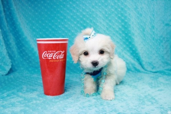 Bellagio - Teacup Maltese Puppy has found a good loving home with Marcia from San Clemente, CA 92673-27796