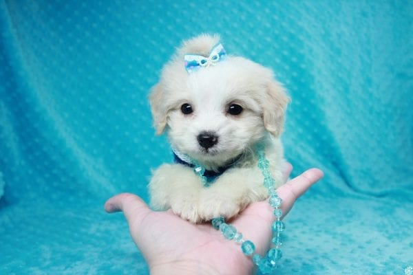 Bellagio - Teacup Maltese Puppy has found a good loving home with Marcia from San Clemente, CA 92673-27797