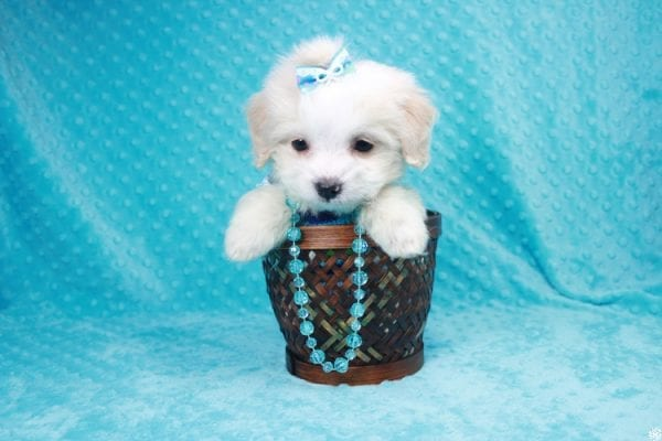 Bellagio - Teacup Maltese Puppy has found a good loving home with Marcia from San Clemente, CA 92673-27798