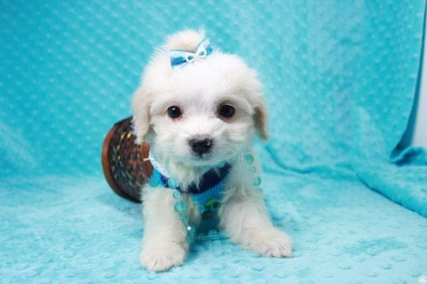 Bellagio - Teacup Maltese Puppy has found a good loving home with Marcia from San Clemente, CA 92673-27799