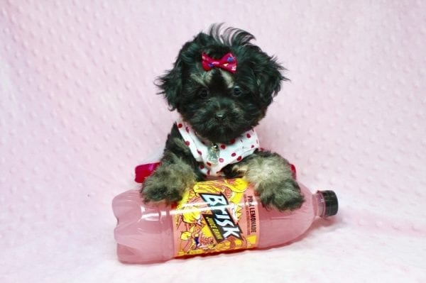 Beyonce - Teacup Shipoo Puppy has found a good loving home with Angela from Las Vegas, NV 89129.-27910