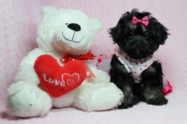 Beyonce - Teacup Shipoo Puppy has found a good loving home with Angela from Las Vegas, NV 89129.-27915