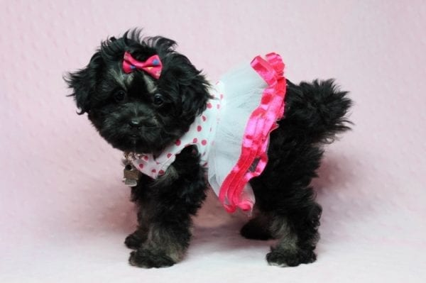 Beyonce - Teacup Shipoo Puppy has found a good loving home with Angela from Las Vegas, NV 89129.-27916