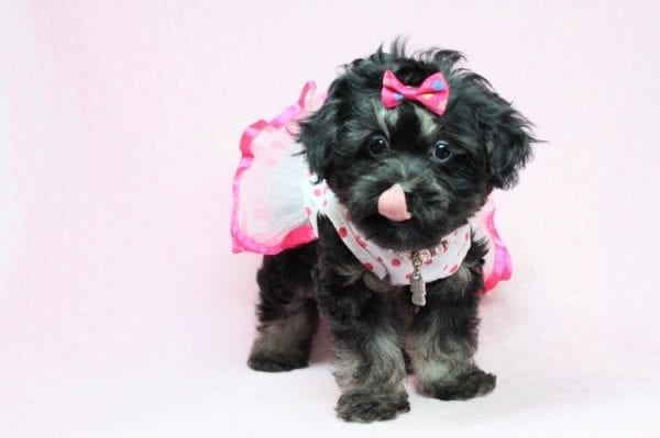 Beyonce - Teacup Shipoo Puppy has found a good loving home with Angela from Las Vegas, NV 89129.-27911