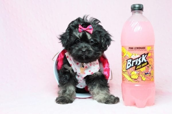 Beyonce - Teacup Shipoo Puppy has found a good loving home with Angela from Las Vegas, NV 89129.-27917
