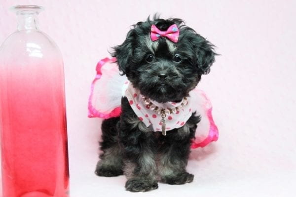 Beyonce - Teacup Shipoo Puppy has found a good loving home with Angela from Las Vegas, NV 89129.-27912