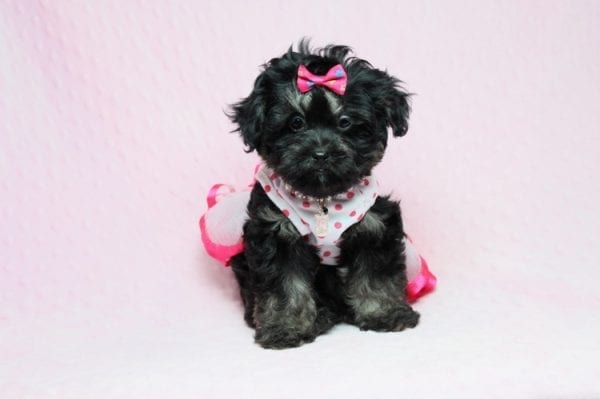 Beyonce - Teacup Shipoo Puppy has found a good loving home with Angela from Las Vegas, NV 89129.-27914
