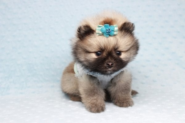 7 Rings - Teacup Pomeranian Puppy has found a good loving home with Christina from Santa Monica, CA 90405-28477