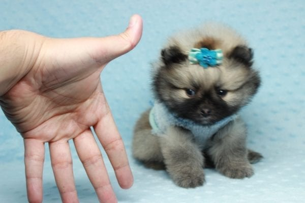 7 Rings - Teacup Pomeranian Puppy has found a good loving home with Christina from Santa Monica, CA 90405-0