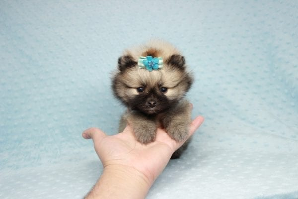 7 Rings - Teacup Pomeranian Puppy has found a good loving home with Christina from Santa Monica, CA 90405-28478