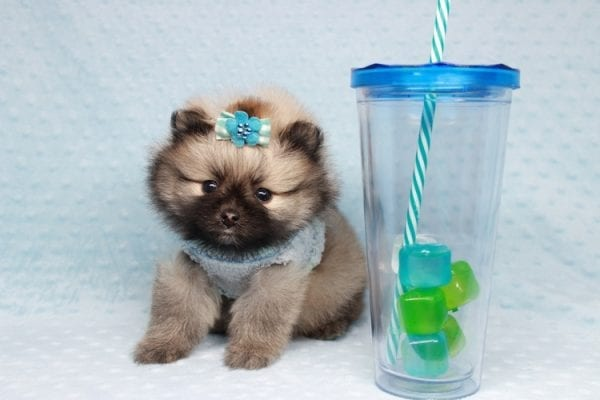 7 Rings - Teacup Pomeranian Puppy has found a good loving home with Christina from Santa Monica, CA 90405-28480