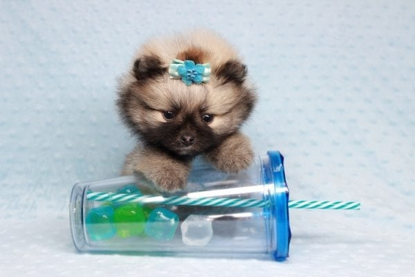 7 Rings - Teacup Pomeranian Puppy has found a good loving home with Christina from Santa Monica, CA 90405-28481