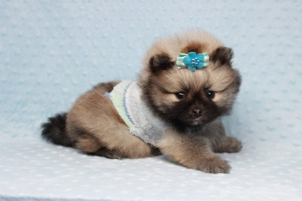 7 Rings - Teacup Pomeranian Puppy has found a good loving home with Christina from Santa Monica, CA 90405-28482