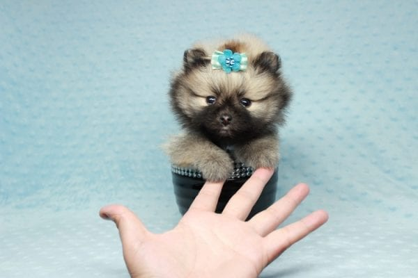 7 Rings - Teacup Pomeranian Puppy has found a good loving home with Christina from Santa Monica, CA 90405-28483