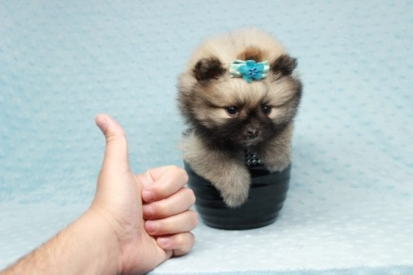 7 Rings - Teacup Pomeranian Puppy has found a good loving home with Christina from Santa Monica, CA 90405-28484