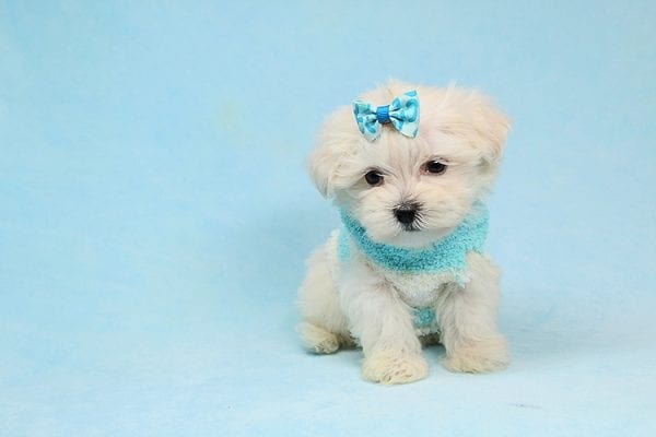 Alfie - Tiny Teacup Maltese Puppy has found a good loving home with Lisa from Calabasas, CA 91302-28025