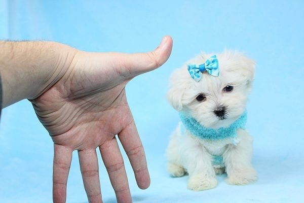 Alfie - Tiny Teacup Maltese Puppy has found a good loving home with Lisa from Calabasas, CA 91302-28027