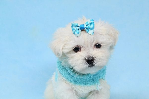 Alfie - Tiny Teacup Maltese Puppy has found a good loving home with Lisa from Calabasas, CA 91302-28028