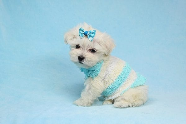 Alfie - Tiny Teacup Maltese Puppy has found a good loving home with Lisa from Calabasas, CA 91302-28029