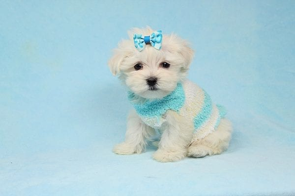 Alfie - Tiny Teacup Maltese Puppy has found a good loving home with Lisa from Calabasas, CA 91302-28030