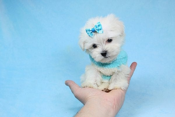 Alfie - Tiny Teacup Maltese Puppy has found a good loving home with Lisa from Calabasas, CA 91302-28031