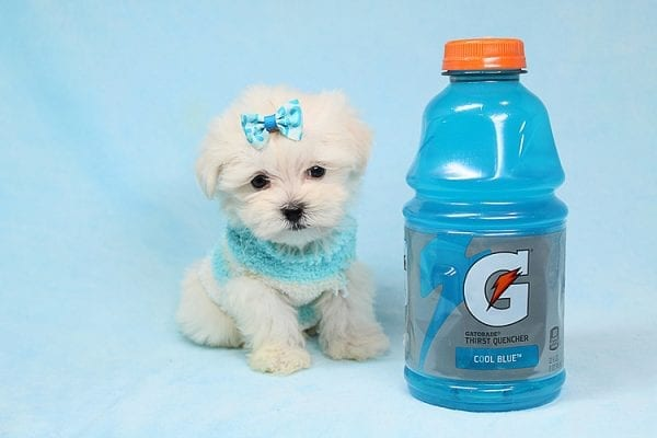 Alfie - Tiny Teacup Maltese Puppy has found a good loving home with Lisa from Calabasas, CA 91302-0