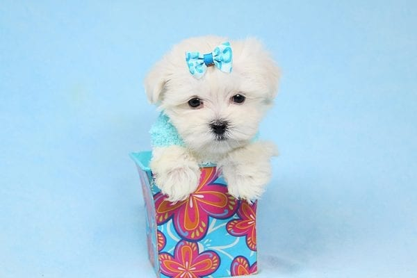 Alfie - Tiny Teacup Maltese Puppy has found a good loving home with Lisa from Calabasas, CA 91302-28033