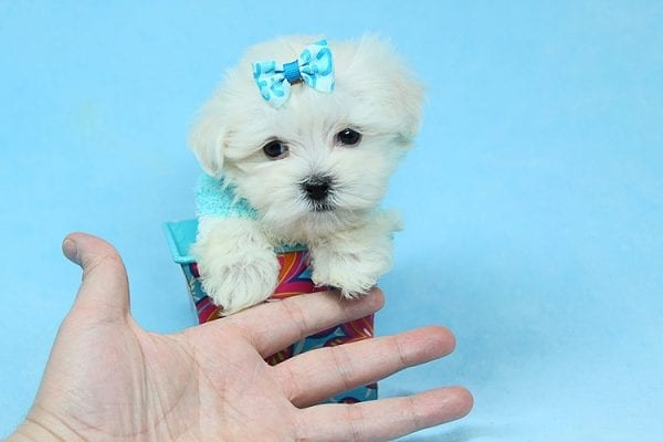 Alfie - Tiny Teacup Maltese Puppy has found a good loving home with Lisa from Calabasas, CA 91302-28034